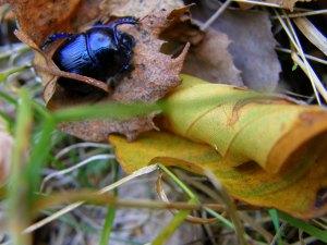 scarabeu